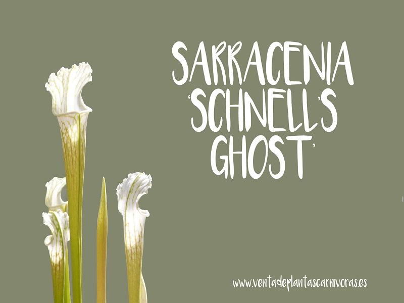 Sarracenia leucophylla 'Schnell's ghost' PA 15 semillas